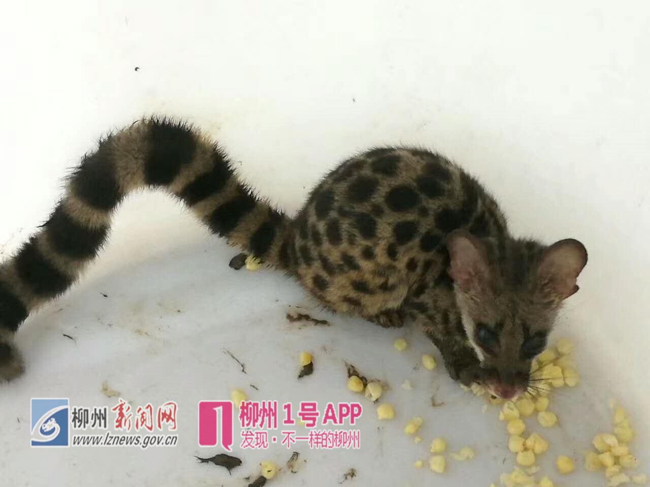 俗名点斑灵猫,彪,虎灵猫,点斑灵狸,刁猫.国家二级重点保护动物.