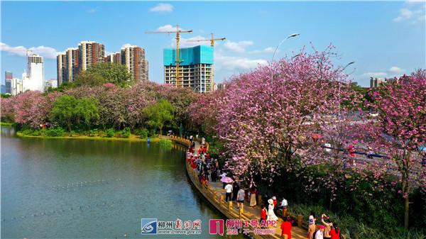 城在花中、人在画中!一起来赴柳州这场特有的花潮盛宴!