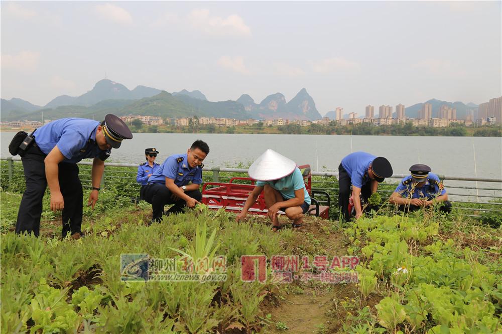 """柳州一处人工沙滩被菜地""""侵蚀"""",当事人竟称种点菜显得整齐好看"""